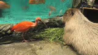 カピバラ と ショウジョウトキ (鳥羽水族館) 2020年12月25日