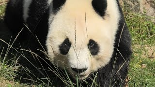Giant panda (Oji Zoo, Hyogo, Japan) October 15, 2020