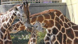アミメキリン Reticulated giraffe