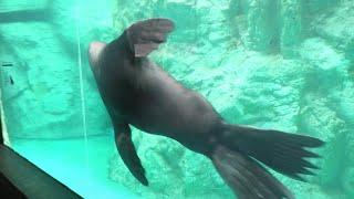 Brown fur seal (Yokohama Zoological Gardens [ZOORASIA], Kanagawa, Japan) September 16, 2020