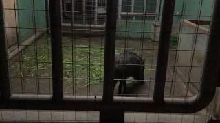 クビワペッカリー(上野動物園) 2017年8月9日