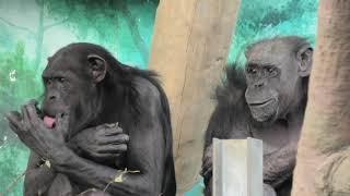 チンパンジー (天王寺動物園) 2019年11月20日