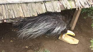 キーパーズトーク「アフリカタテガミヤマアラシ」 (上野動物園) 2018年7月7日