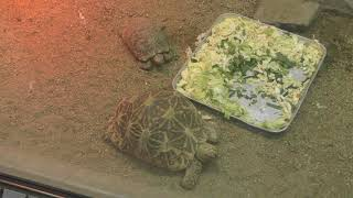 Indian star tortoise (Higashiyama Zoo and Botanical Gardens, Aichi, Japan) November 18, 2017