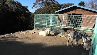 ヤギ と ヒツジ (島根県畜産技術センター 動物ふれあい広場) 2019年11月30日