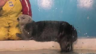 Sea otter Feeding time (ADVENTURE WORLD, Wakayama, Japan) January 18, 2020