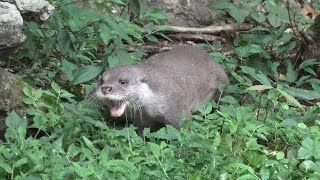 Eurasian otter (Yokohama Zoological Gardens [ZOORASIA], Kanagawa, Japan) September 16, 2020