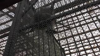 マントヒヒ (那須ワールドモンキーパーク) 2018年12月7日