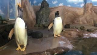 ジェンツーペンギンを眺めよう (那須どうぶつ王国) 2017年7月23日