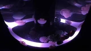 クラゲ水槽「Jellyfish Ramble」(アクアパーク品川) 2017年11月29日