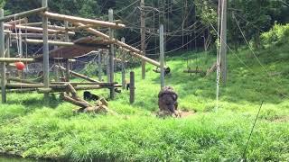 チンパンジー (多摩動物公園) 2017年8月27日