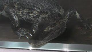 メガネカイマン (鹿児島市 平川動物公園) 2019年4月17日