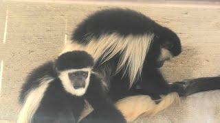 アビシニアコロブス (神戸市立 王子動物園) 2020年8月4日