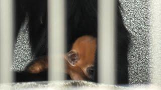 Baby Franois' langur (TENNOJI ZOO, Osaka, Japan) June 25, 2021