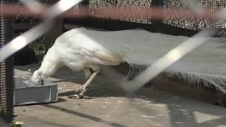 シロクジャク (東武動物公園) 2018年3月31日