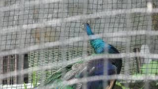 インドクジャク (沖縄こどもの国) 2019年5月13日