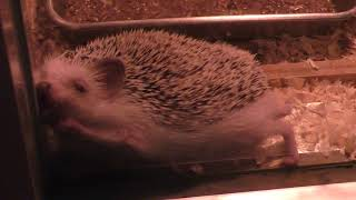 Four-toed hedgehog (Shizuoka Municipal Nihondaira Zoo, Shizuoka, Japan) August 5, 2018