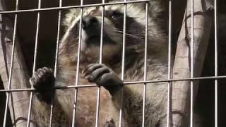達観しているアライグマ (仙台市八木山動物公園/セルコホーム ズーパラダイス八木山) 2018年1月20日
