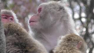 ニホンザル (茶臼山動物園) 2018年4月15日