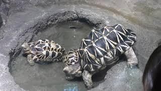 ビルマホシガメ Burmese starred tortoise
