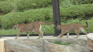 ピューマ の親子『ベガ』と『ニーナ』 (静岡市立 日本平動物園) 2019年9月29日