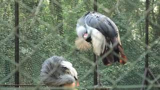 ホオジロカンムリヅル (宮崎市フェニックス自然動物園) 2019年12月9日