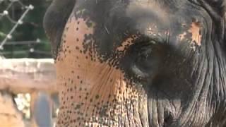 アジアゾウの「ラニー博子」 (天王寺動物園) 2017年11月3日