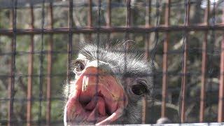 ダチョウ の『ダンディ』 (鞍ケ池公園 動物園) 2019年1月24日