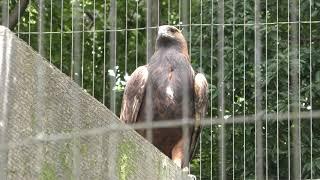 Golden eagle (Chiba Zoological Park, Chiba, Japan) September 24, 2017