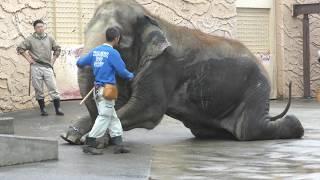 アジアゾウの早朝トレーニング風景 (日立市かみね動物園) 2017年10月21日