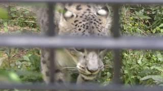 ユキヒョウ の『リーベ』 (浜松市動物園) 2018年7月1日