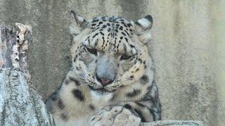 Snow leopard (Oji Zoo, Hyogo, Japan) October 15, 2020