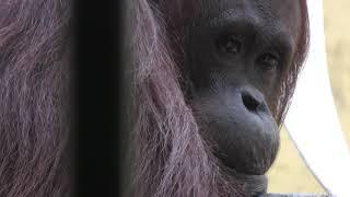 Bornean orangutan (Sapporo Maruyama Zoo, Hokkaido, Japan) February 12, 2018