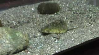 カブトガニ と スナヤツメ (北里アクアリウムラボ ~ 北里大学海洋生命科学部ミニ水族館) 2018年11月30日