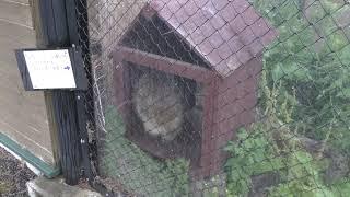 アライグマ と エゾタヌキ (旭山動物園) 2019年6月20日