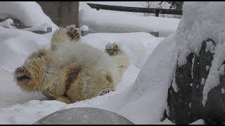 雪の上で寝転がるホッキョクグマ (旭山動物園) 2018年2月11日