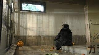 チンパンジー の『ユキ』にハロウィンかぼちゃのプレゼント (王子動物園) 2019年10月27日