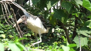 Marabou Stork (TENNOJI ZOO, Osaka, Japan) June 25, 2021