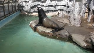 カリフォルニアアシカ (秋田市大森山動物園) 2019年4月11日