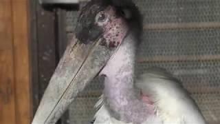 アフリカハゲコウ (大内山動物園) 2018年1月3日