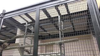 フサオマキザル (札幌市 円山動物園) 2019年6月13日
