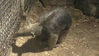 キタコアリクイ の『ロコ』 (伊豆シャボテン動物公園) 2019年10月1日