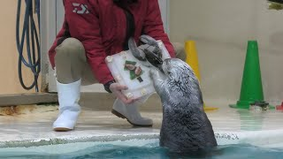 Christmas gifts for Sea otter (TOBA AQUARIUM, Mie, Japan) December 25, 2020
