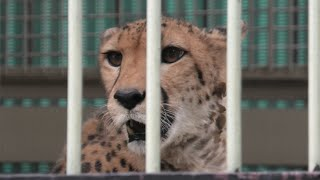 チーター の『コリナ』 (東武動物公園) 2020年9月18日