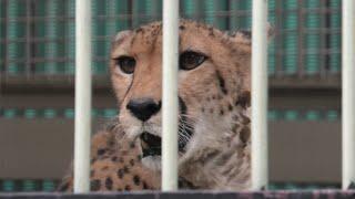 Cheetah (TOBU ZOO, Saitama, Japan) September 18, 2020