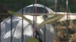 アオサギ (仙台市八木山動物公園/セルコホーム ズーパラダイス八木山) 2018年1月20日