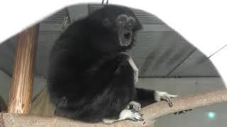 シロテテナガザル の『シロマティー』と『クロマティー』 (京都市動物園) 2019年1月26日