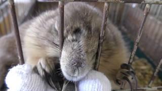 プレーリードッグ に餌やり体験 (真岡りす村ふれあいの里) 2018年8月18日