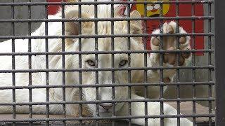 ホワイトライオンの肉球にタッチ (宇都宮動物園) 2018年4月30日