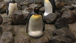 卵を抱く キングペンギン (アドベンチャーワールド) 2020年1月18日